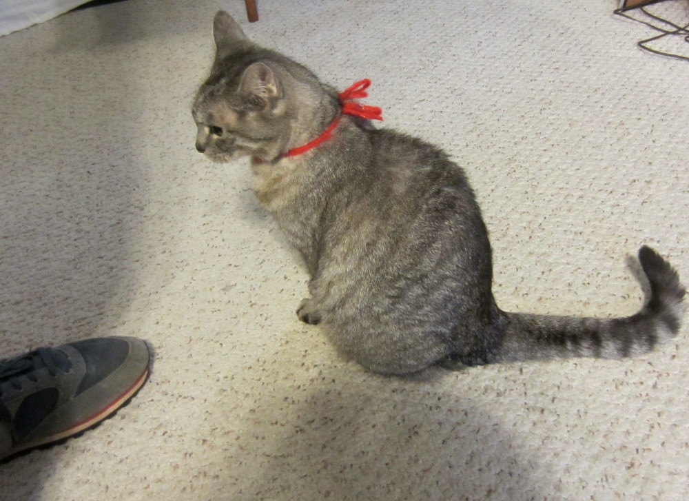 Hemi cat wearing read yarn bow