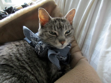 Hemi cat wearing bandana