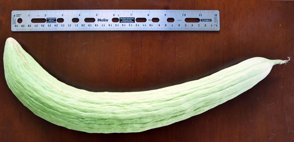 English cucumber shown with a ruler to be over a foot in size