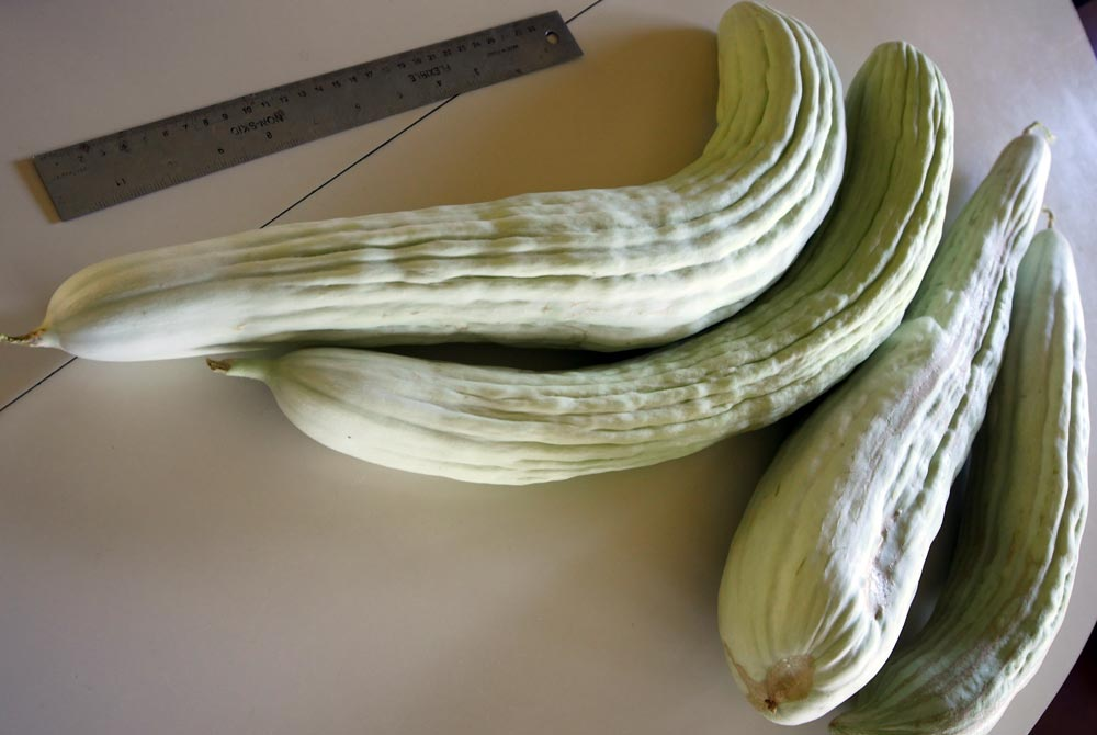 English cucumbers with a ruler showing them to be well over a foot in length
